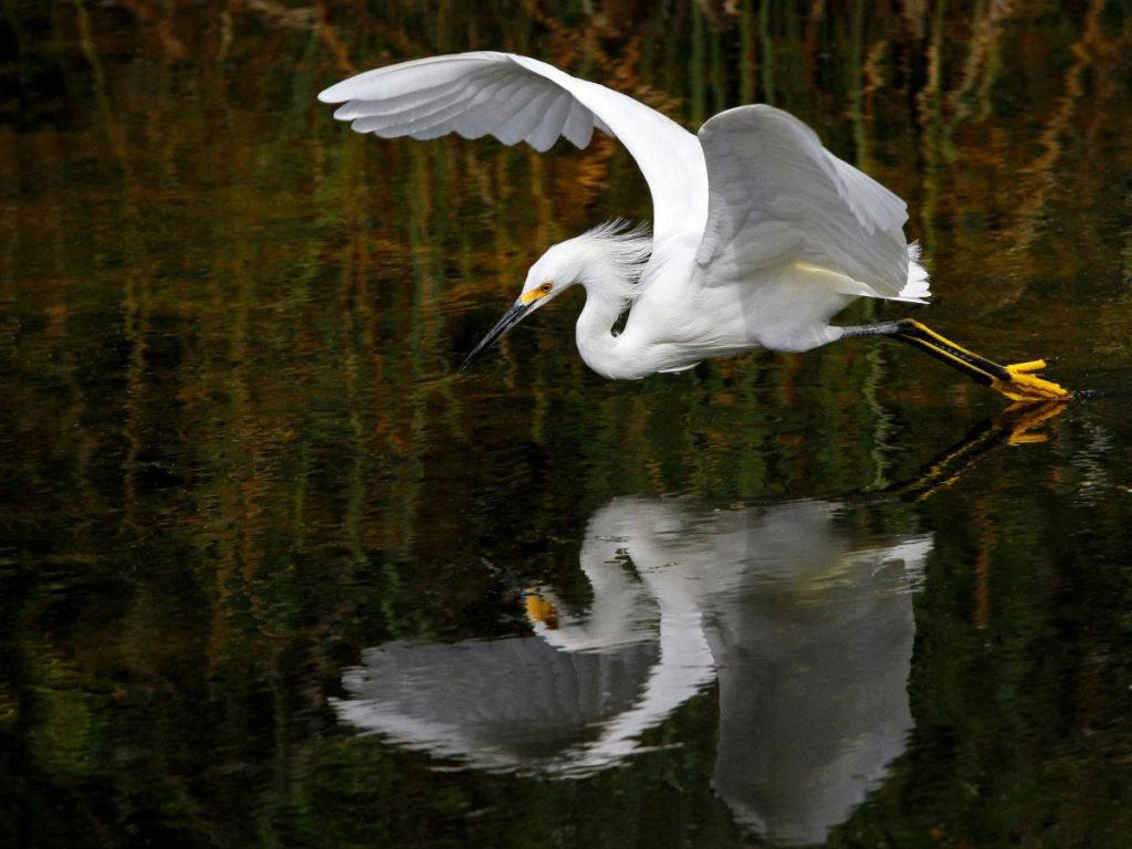 水面近くを飛ぶ白鷺(シラサギ)と水面に映る姿