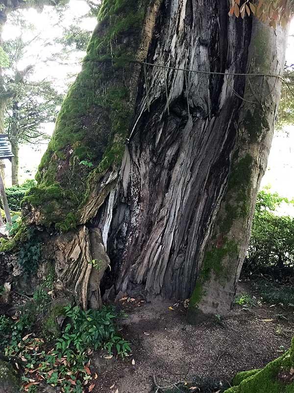 映画『三朝小唄』ロケ地 三朝神社の穴のある大木
