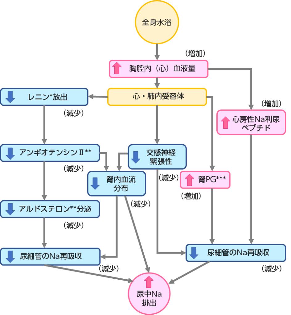 全身水浴によるNa利尿作用のメカニズム(Epseinの図を改変)2)