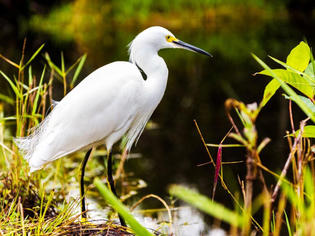 川辺に立つ白鷺(シラサギ)